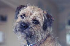 Willow, Border Terrier from handsomedogs - My ideas Terrier Puppies, Dogs And Puppies, Terriers, Doggies, Best Dog Breeds, Best Dogs, Giraffe Pictures, Patterdale Terrier, Dog Day Afternoon
