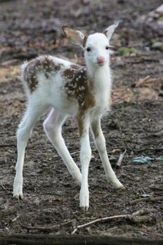 Piedbald Fawn. I saw a deer like this just this morning. Never saw one before.Then here it is on pinterest. You live and  learn. Every day a gift.