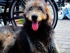 Irish Wolfhound Biggest Dog Breed Big Dogs, Large Dogs, Dog Breed Finder, Worlds Biggest Dog, Big Dog Breeds, Irish Wolfhound, Animals, Image, Worlds Largest Dog
