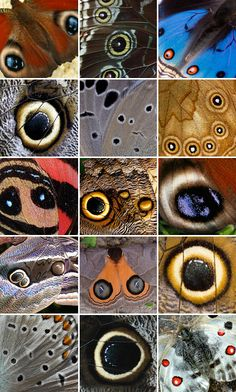 """Butterfly and moth """"eyes"""""""