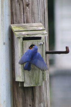 Male Bluebird feeding babies.