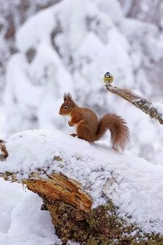 Red Squirrel - Winter - Snow