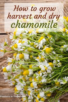 How to grow and harvest chamomile for tea and medicine. One established, just a few plants will give you plenty of chamomile flowers to harvest. Healing Herbs, Medicinal Plants, Organic Gardening, Gardening Tips, Preserve Fresh Herbs, Chamomile Growing, Growing Herbs, Growing Tea, Plantar