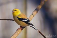 American Goldfinch (Spinus tristis)  These beautiful birds live in large flocks in the winter, and there were dozens of them flying around in this backyard.  Enterprise, Alabama, USA