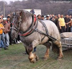 Big Horses, Work Horses, All About Horses, Horse Love, Draft Horse Breeds, Draft Horses, Farm Animals, Cute Animals, Work With Animals