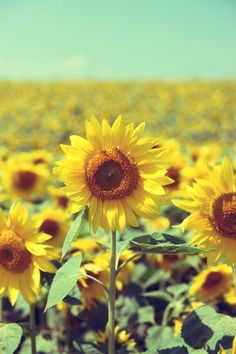 Sunflowers. I love how bright and vibrant sunflowers are. The yellow stands out so much in a field.