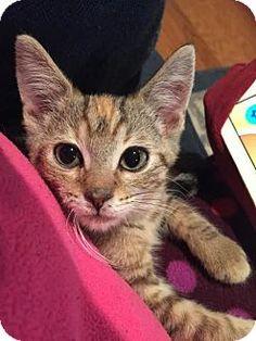 Philadelphia, PA - Domestic Shorthair. Meet Delilah, a kitten for adoption. http://www.adoptapet.com/pet/14345235-philadelphia-pennsylvania-kitten