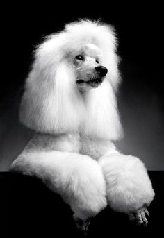 Standard #Poodles #Dogs #Puppy