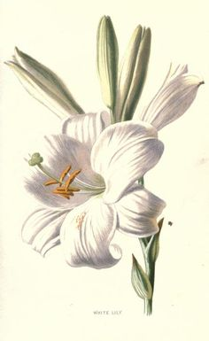 1907 - Familiar garden flowers, figured by F. Edward Hulme and described by Shirley Hibberd