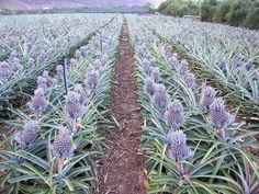 Plantación de piña tropical en Jardín de las Aves
