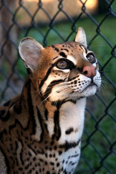Ocelot (Leopardus pardalis) is found from northern Argentina to eastern Mexico.  Photo taken at the Panther Ridge Conservation Center in Wellington, Florida.  -kc