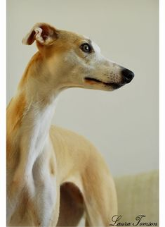 Pretty, elegant golden Whippet. Horses And Dogs, Animals And Pets, Cute Animals, Whippet Dog, Greyhound Puppies, Pet Dogs, Dogs And Puppies, Whippets, Dog Language