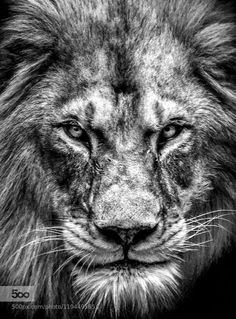 Black and white Lion - @Christoph Cejka