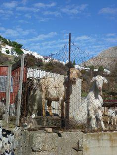 Grigori's goats, Megalo Horio, January 2016