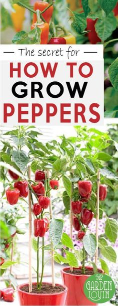 Vegetable Gardening DIY Growing pepper is easy, but growing amazing, huge, voluptuous peppers takes a few secret tricks of the trade. Good news – we've got the secret to growing peppers. Small Front Garden Landscaping Ideas, Front Garden Landscape, Nice Landscape, Landscape Lighting, Yard Landscaping, Garden Ideas, The Secret Garden, Growing Tomatoes In Containers, Growing Vegetables