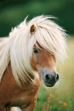 Shetland Pony....one of the very few things I asked for as a child that actually didn't get...AJ knows this is still on my wish list <3