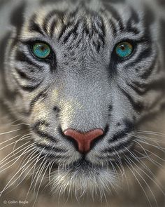 White tiger animal wildlife painting art print.