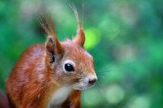 squirrel pets nature