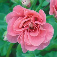 Geranium 'Pink Sybil' - Perennial & Biennial Plants - Thompson & Morgan