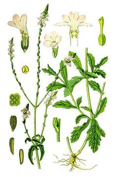 Vervain: Verbena officinalis (LINN.)