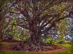 "This huge tree (17 meters of diameter) with its stunning roots, is a ""Ficus…"