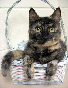 Torti Cat.  Love these kitties with their unique coloring just like my precious little girl kitty.:-)