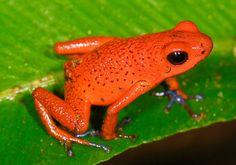 Strawberry poison-dart frog - Wikipedia