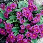 Primula juliae - Kaukasusprimula - trivest i vanlig hagejord og steinbed. Danner raskt et teppe. H: 15-20 cm. H7