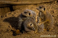 Family of meerkats playing.  You can buy this image & see my other wildlife images by clicking on the thumbnail.