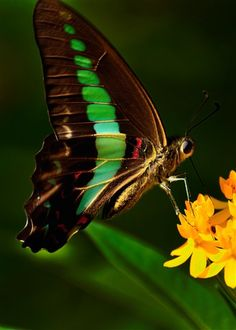 brush-footed butterfly http://pinterest.com/ahaishopping/