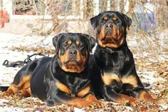 Beautiful Rottweilers