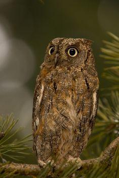 Fauna, Zoology, Wildlife, Birds, Owls, Paradise, Amazing, Google, Party