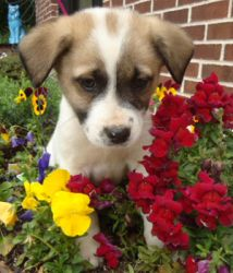 Royal is an adoptable Spitz Dog in Winston-Salem, NC. These pups are adorable and ready to play! Born to a stray, they are now safe in foster care, slowly learning the basics on housebreaking and pupp...