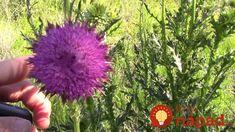 Ak ju nájdete na trávniku, strážte si ju ako oko v hlave: Nejde o žiadnu burinu, táto rastlina môže zachrániť zdravie!