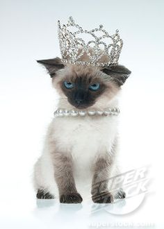 Because your cat is the queen i 39 m the quintessential for Siamese 9 electric motor