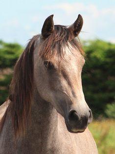 Connemara Pony - Google Search