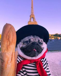58 Adorable Animals To Help Get You Through The Day lustige Tierbilder Super Cute Puppies, Cute Baby Dogs, Baby Pugs, Cute Dogs And Puppies, Doggies, Black Pug Puppies, Funny Animal Jokes, Cute Funny Animals, Funny Dogs