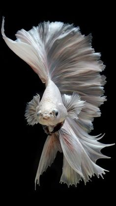 Albino Betta Fish Picture 11 Of 20 For Free Cell Phone Wallpaper