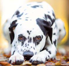 Dalmatian Photography Dog Puppy Joanna Lina Dalmatians, Pet Portraits, Dogs And Puppies, Pitbulls, Pets, Photography, Animals, Dogs, Photograph
