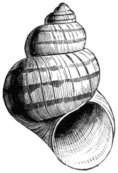 In this species of pond snail, the aperture of the shell is not closed by an operculum. Pencil Art Drawings, Art Drawings Sketches, Line Drawing, Painting & Drawing, Shell Drawing, Pond Snails, Shell Tattoos, Gcse Art Sketchbook, A Level Art