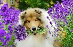 Collies can even bring you flowers