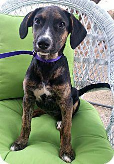 Phoenix, AZ - Rottweiler/German Shepherd Dog Mix. Meet Millie, a puppy for adoption. http://www.adoptapet.com/pet/17248695-phoenix-arizona-rottweiler-mix