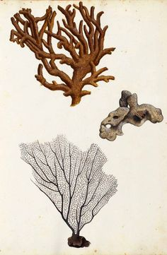 vintage coral illustration - Google Search