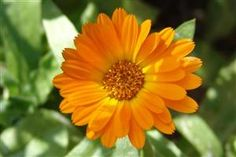 Calendula (Calendula officinalis) - In tincture form calendula can be used to treat both headaches and toothaches. Calendula water makes a soothing, restorative wash for sore and inflamed eyes. It is a popular ingredient in salves and creams designed to decrease the inflammation of sprains, stings, varicose veins, burns, rashes, and skin irritations. ~ TheHealingWalk.com