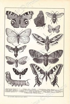 1898 Wonderful Butterflies and Moths and their Caterpillars - Lycaena, Sphynx, Vanessa Saturina, Bom