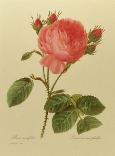 Vintage Redoute Rose Flower Botanical Print Lacy by earlybirdsale, $5.00