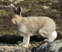 Google Image Result for http://www.backcountrytaxidermy.com/Artic-Hare-Summer.jpg