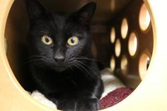Update: Adopted :-) Cora has been adopted from the Seattle Humane Society