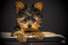 Dog Secrets: The Fastest Way To Your Dream Yorkshire Terrier! - Yorkshire Terrier #yorkshireterrier