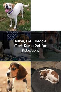 Dallas, GA - Beagle. Meet Rue a Pet for Adoption. Adoptable Beagle, Pet Adoption, Dallas, Meet, Dogs, Animals, Animales, Animaux, Pet Dogs